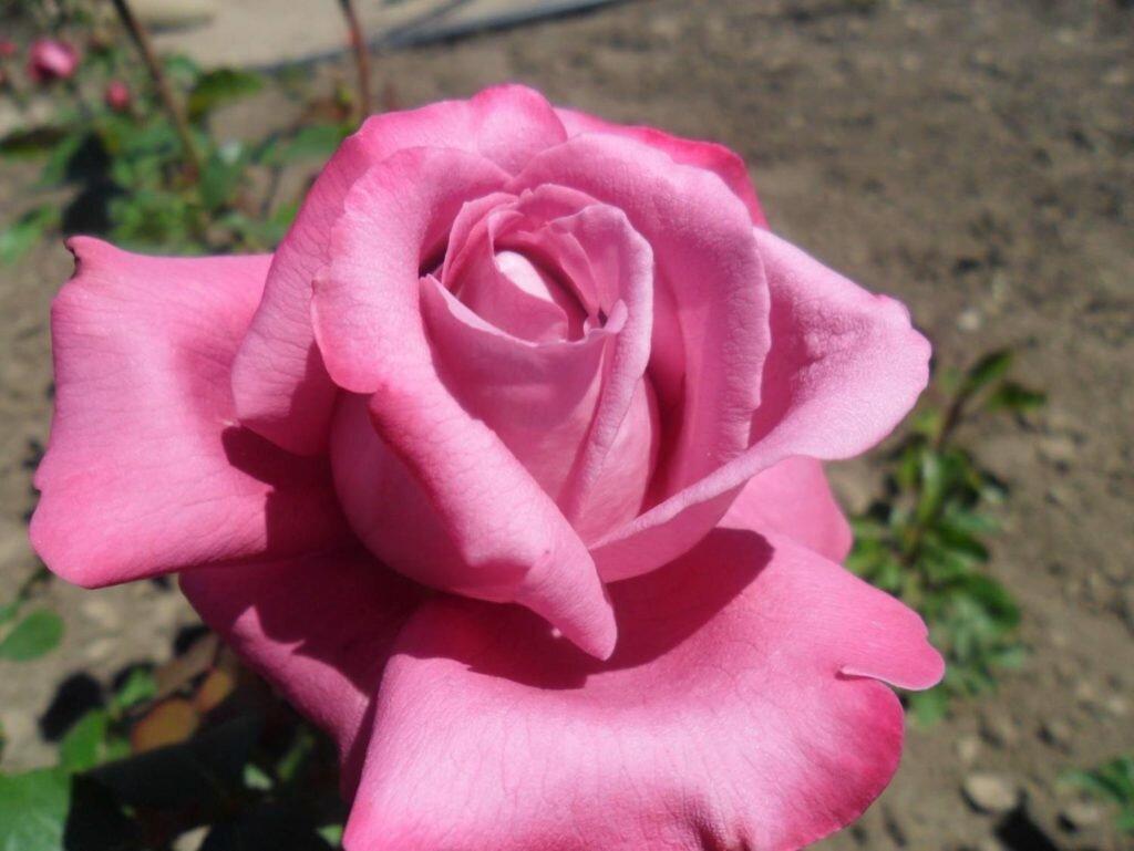 роза паваротти фото российским законам