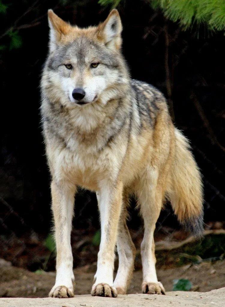 фото волка во весь рост картинки удивительно