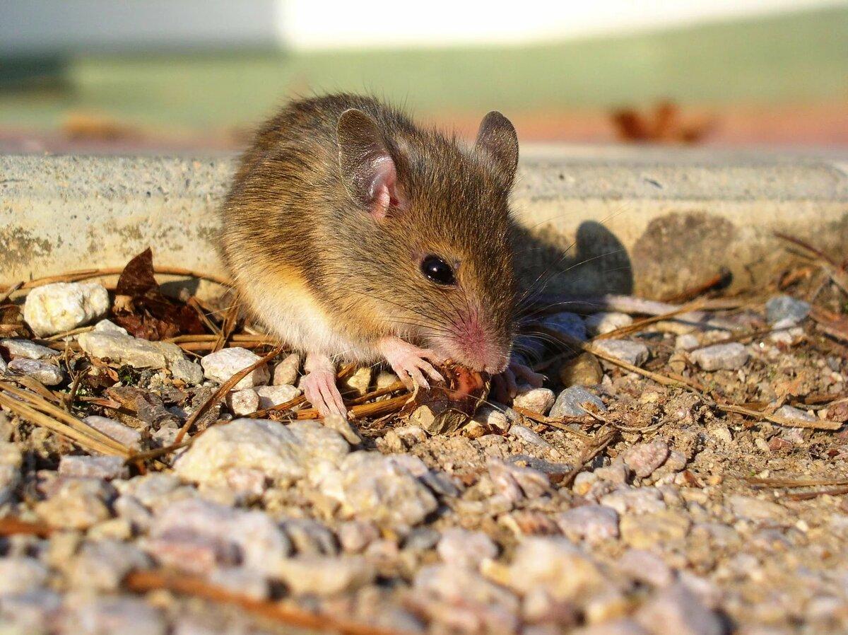 Мыши на картинках