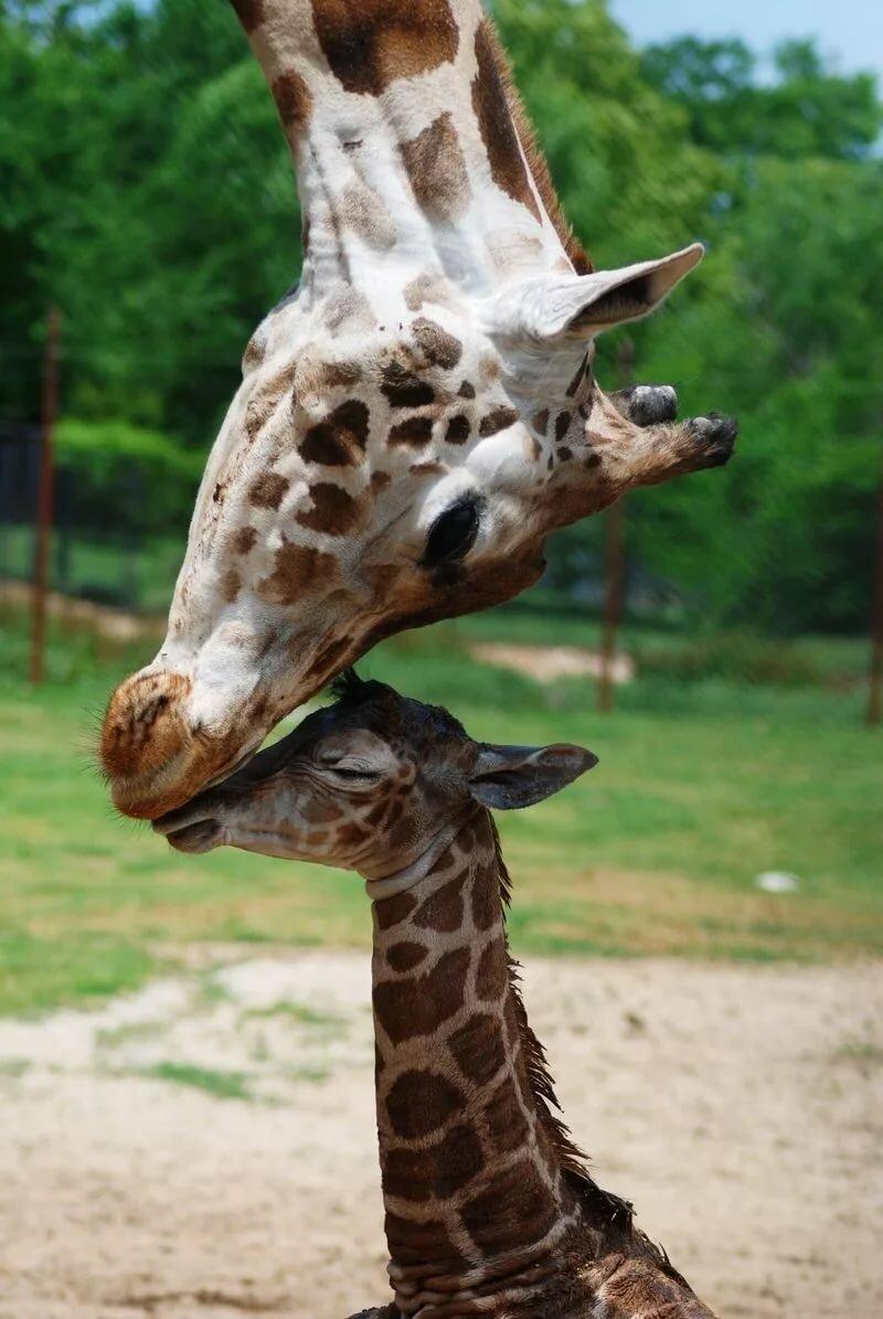 картинки с жирафчиком включает себя
