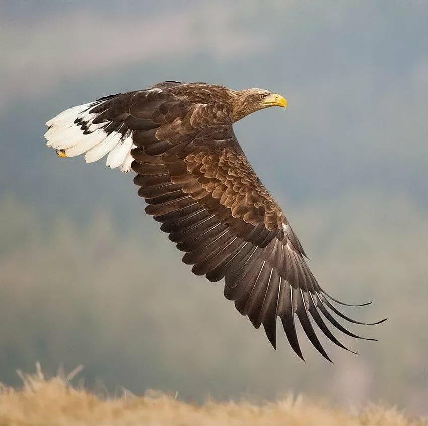 птицы орлан белохвост нарисовать чудесную картину