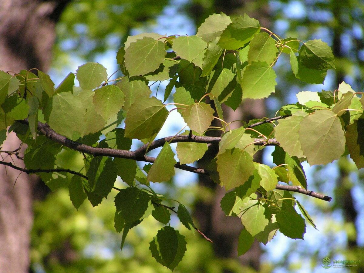 Тополь как выглядит дерево