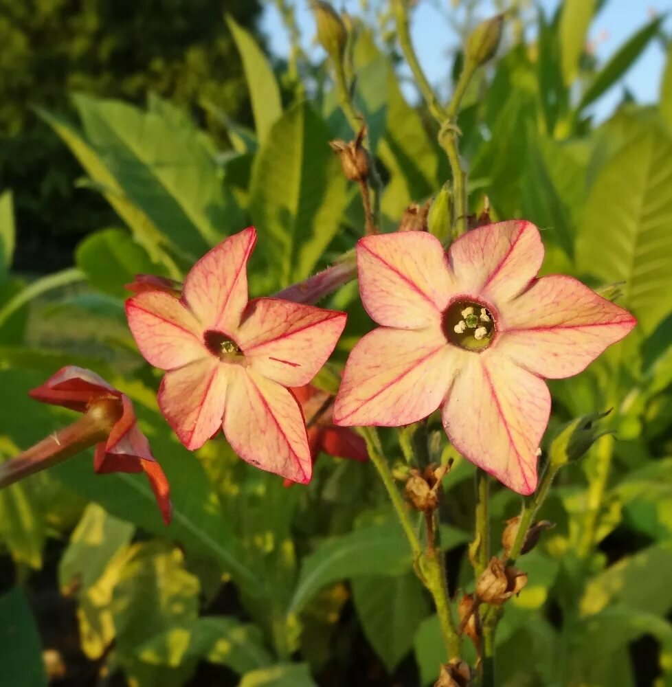 Табак цветы фото