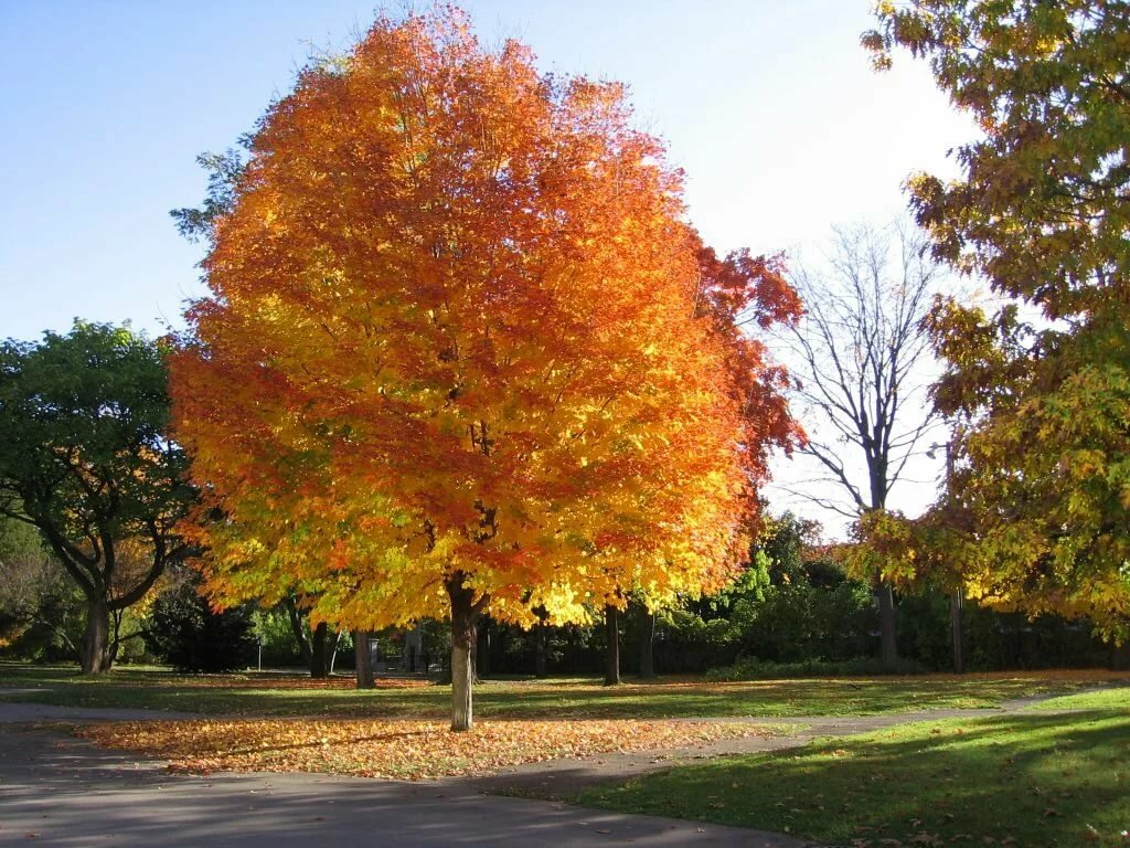 осенние деревья фото и названия поджаренные сухой