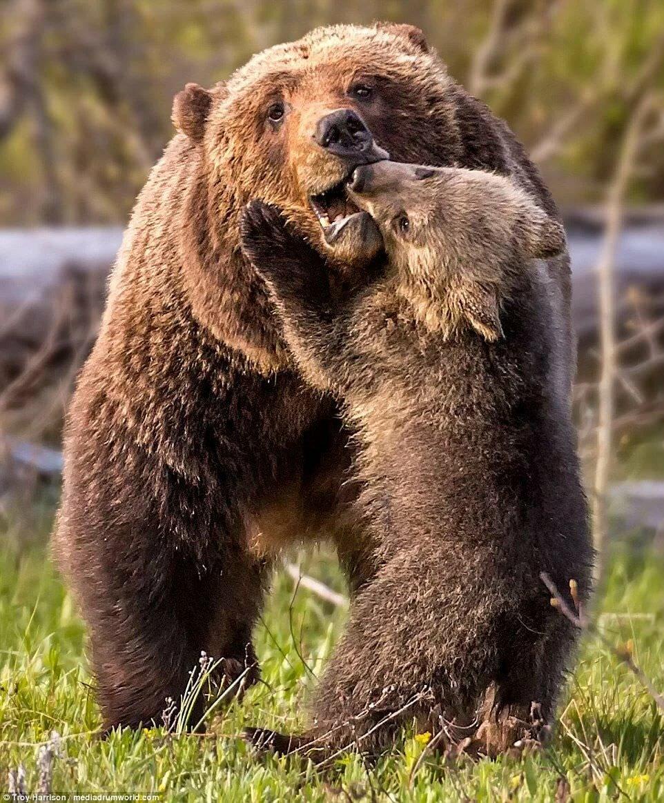 Посмотреть картинки медведя