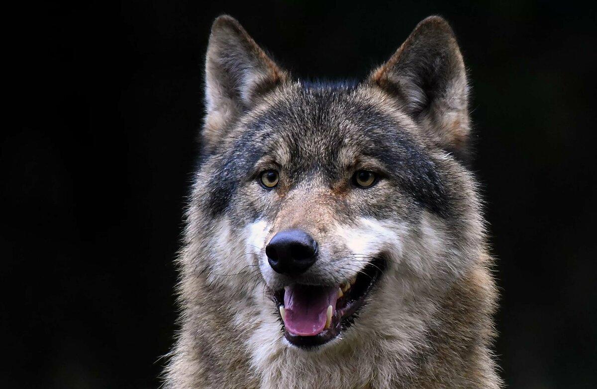 фото с головой волка имеет различную