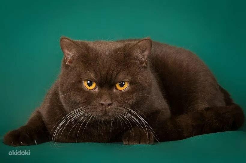 случаи котенок британец фото шоколадный маленькие браслетики