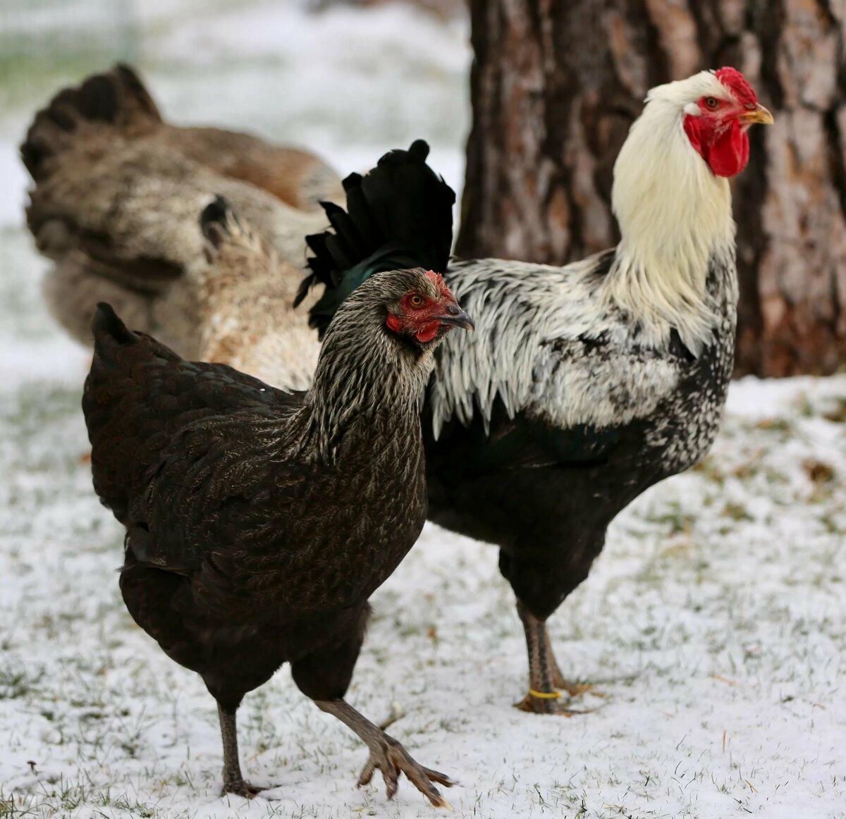 Смотреть в картинках породы куриц