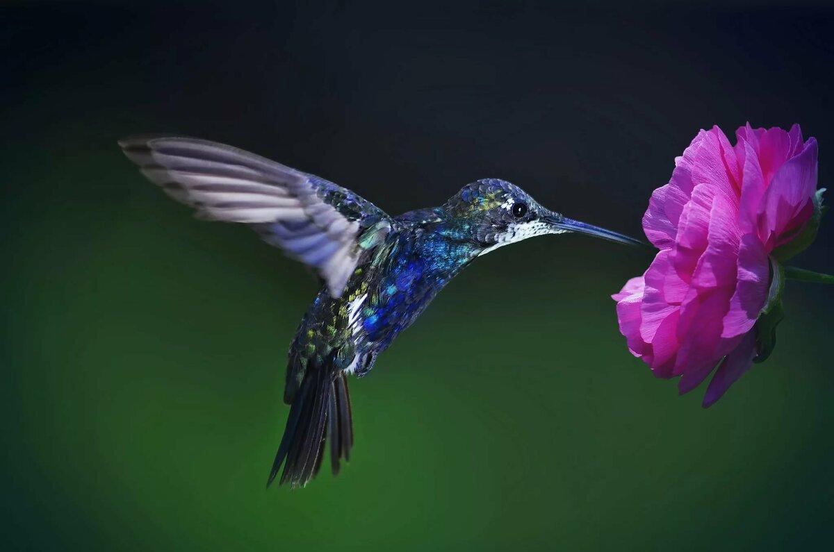 Картинки на аву колибри