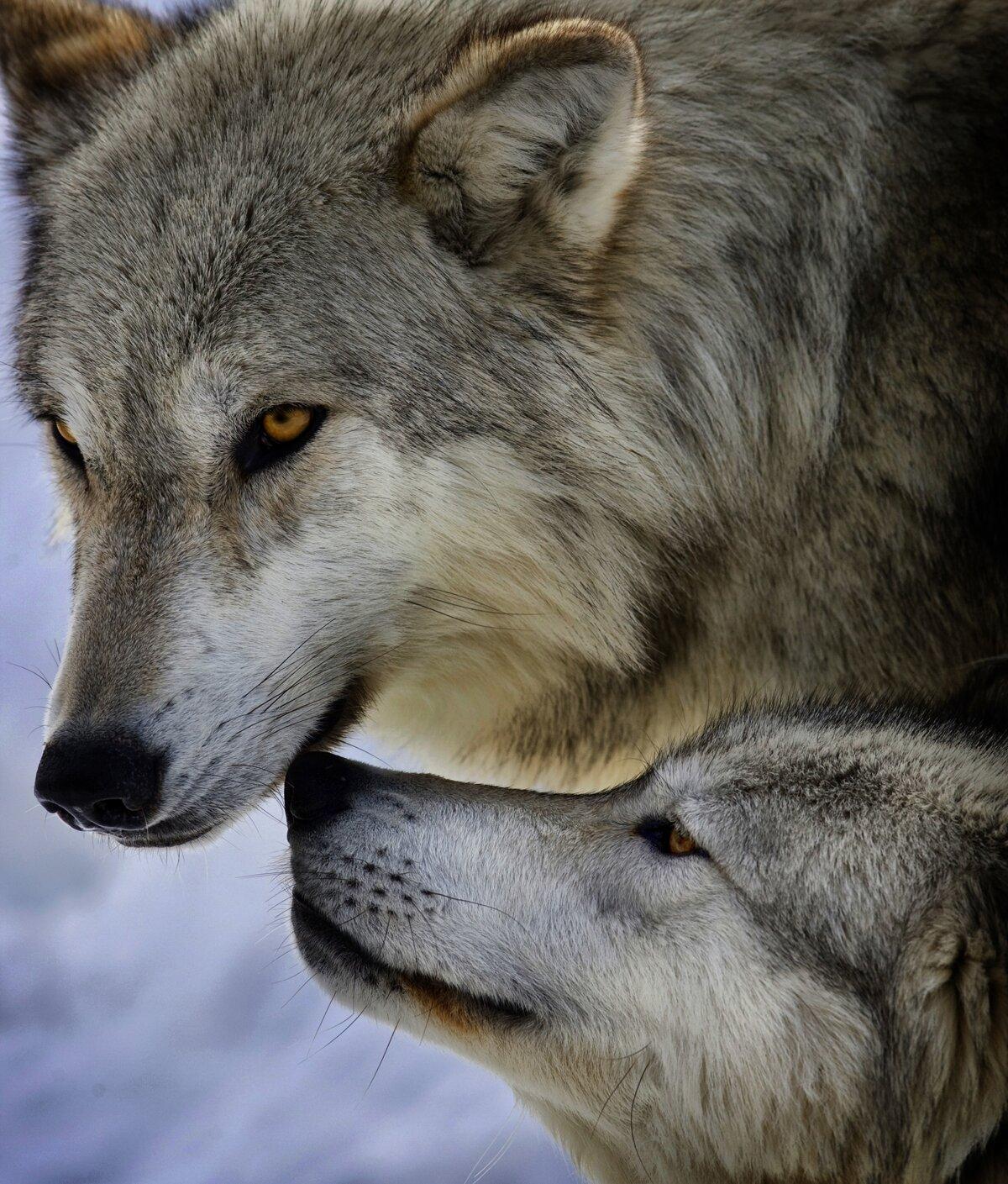 картинки преданности волков количество поклонников татуажа