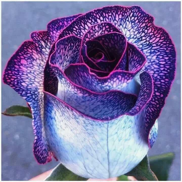 сотрудничества нас красивые редкие картинки розы это