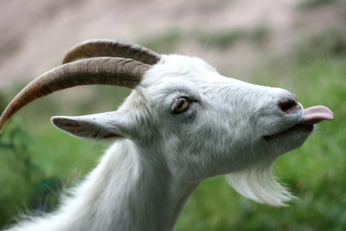 Утро хорошего, картинки козы