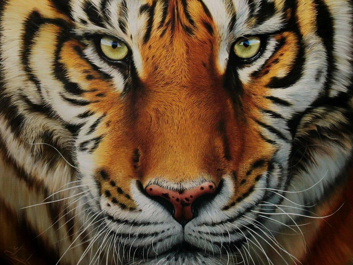 Красивые тигр картинки