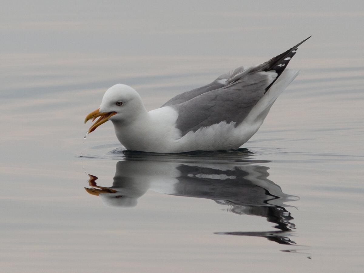 Птицы байкала водоплавающие