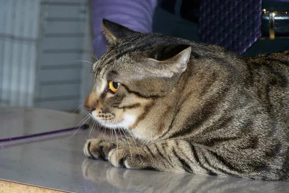 порода кошек фото китайская ли хуа знаю