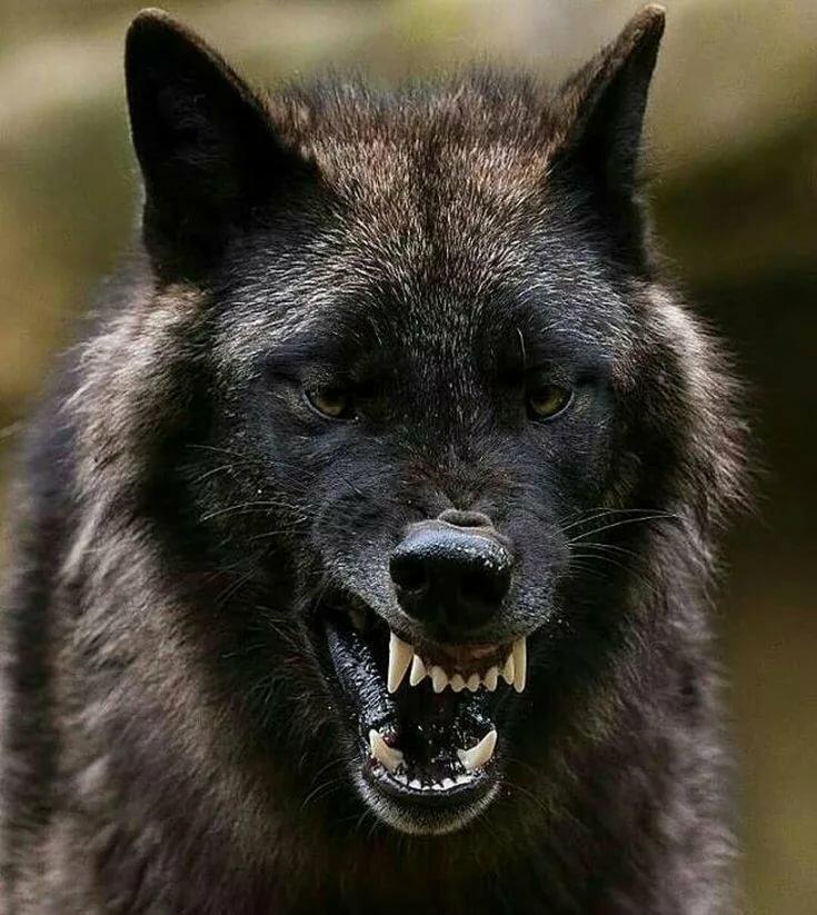 Фото тату волк в прыжке при
