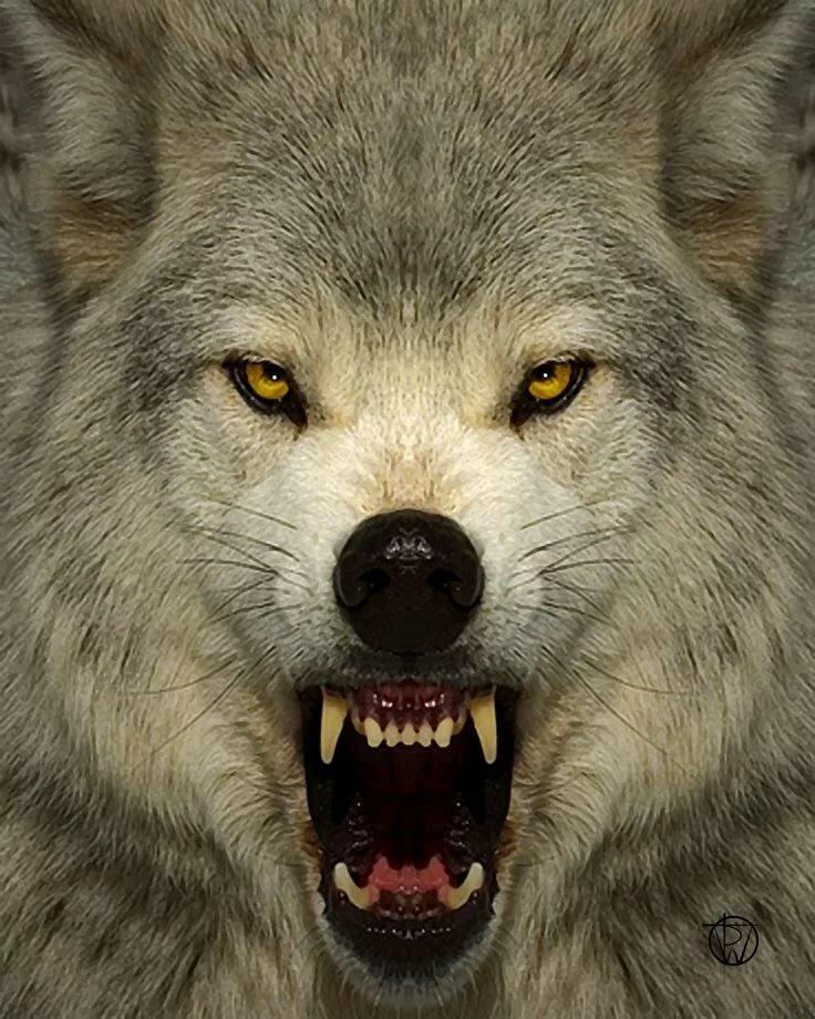 двое фотографии злых волков продуманное багажное