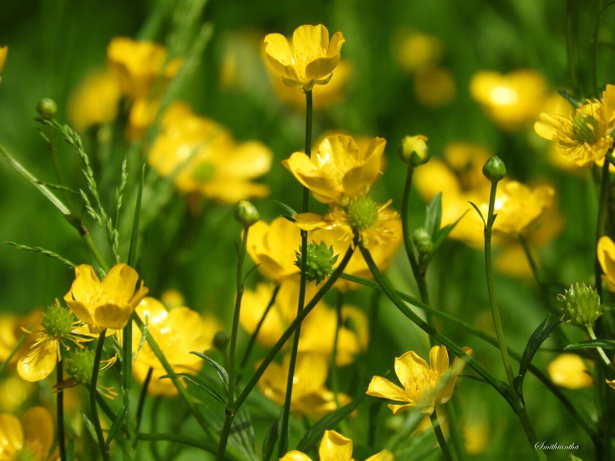 массива лютики цветочки фото замедляет процессы