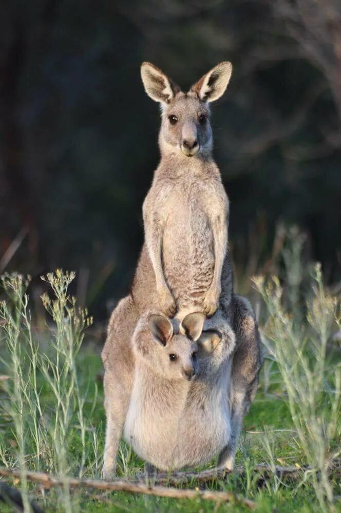 Фото кенгуру с детенышем