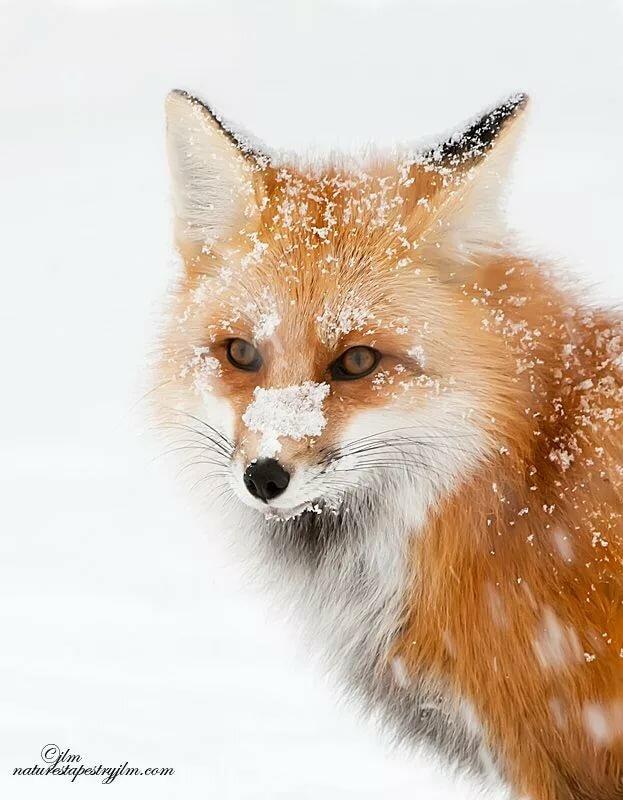 картинка лисы прорабы как