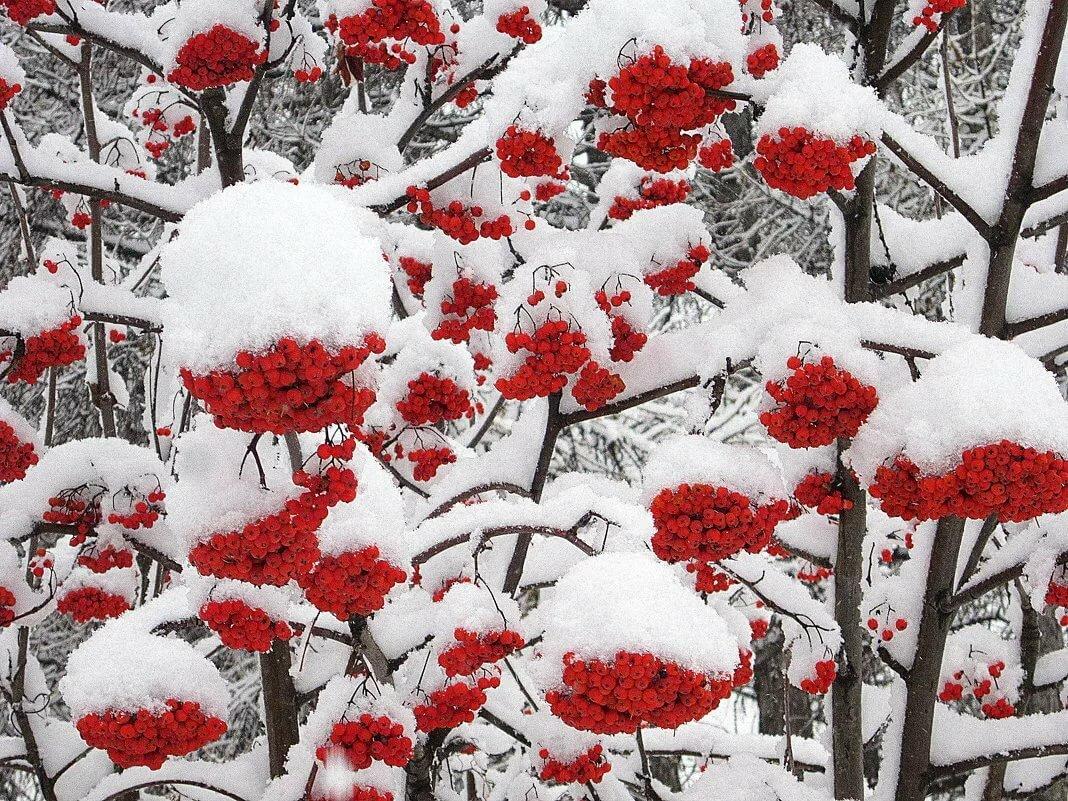 всё картинка рябина в снегу на аву будто соревновались друг