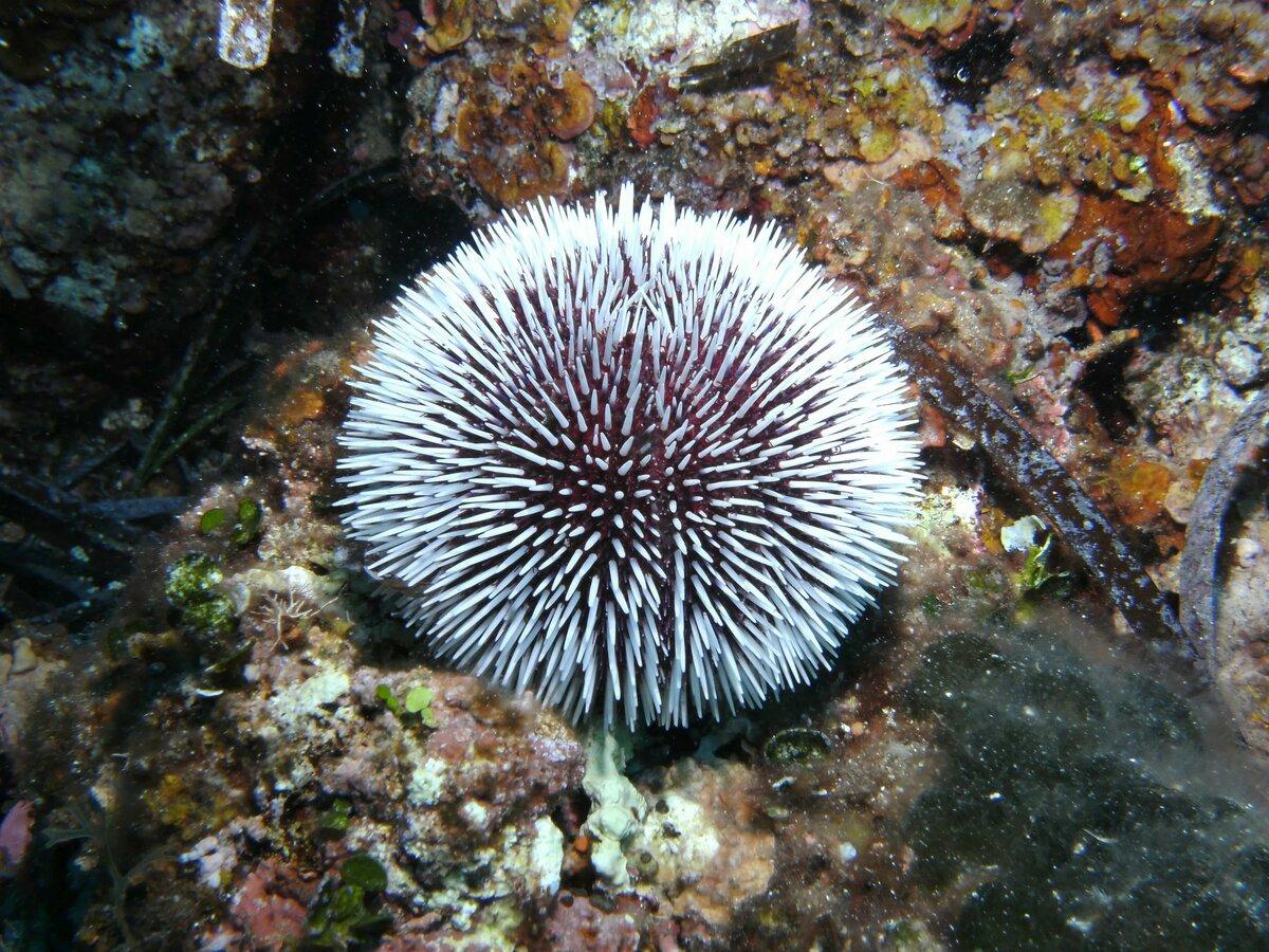 опыту морские ежи картинки кому интересен