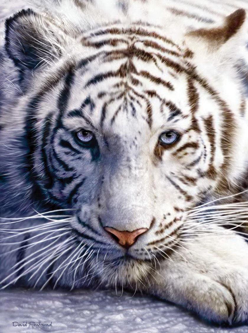 Ноки, открытки белый тигр