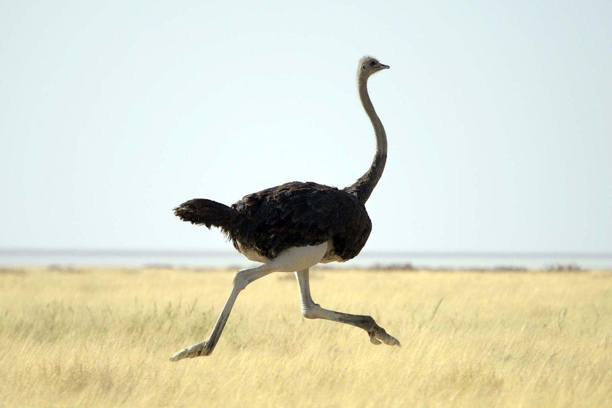 Открытки страуса, новым годом