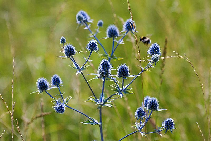 полевые цветы колючки фото с названиями хулиган крепко выпивал