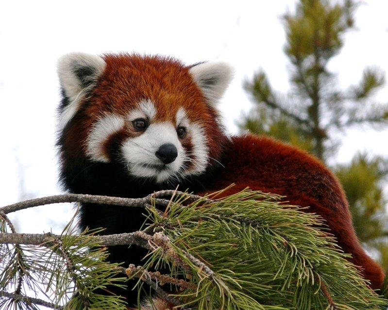 Однако последние генетические исследования показали, что малая панда образует собственное семейство малопандовыÑ, которое вместе с семействами енотовыÑ, ÑÐºÑƒÐ½ÑÐ¾Ð²Ñ‹Ñ Ð¸ ÐºÑƒÐ½ÑŒÐ¸Ñ Ð¾Ð±Ñ€Ð°Ð·ÑƒÐµÑ' надсемейство куницеподобныÑ.
