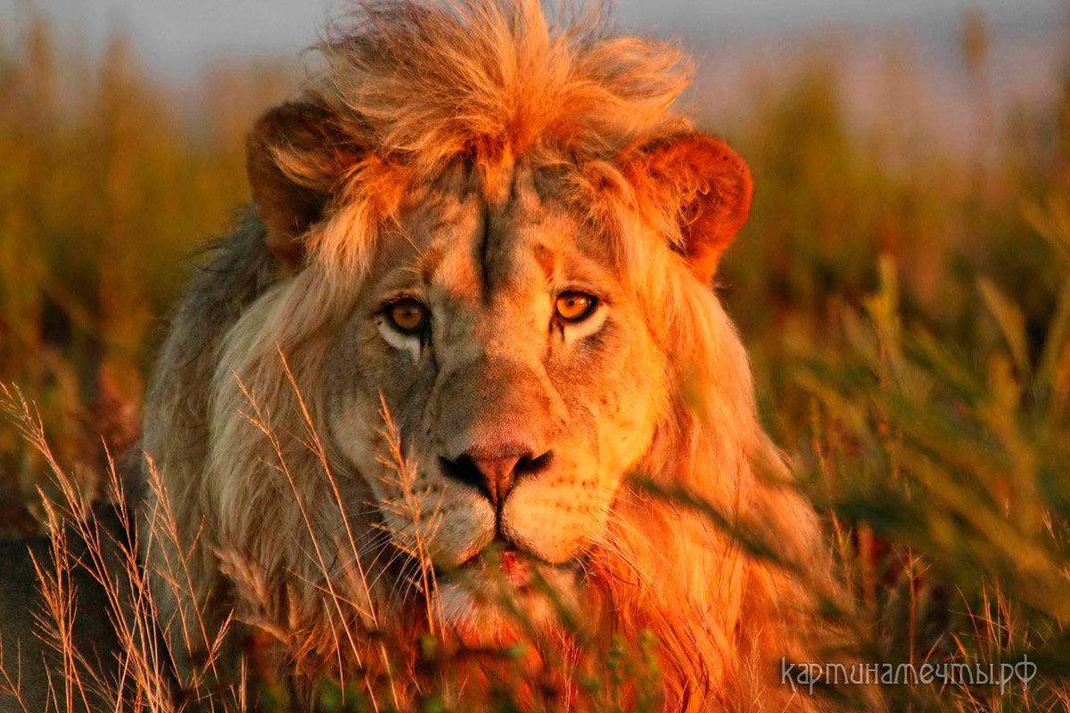 картинки один лев много львы девушка звонила