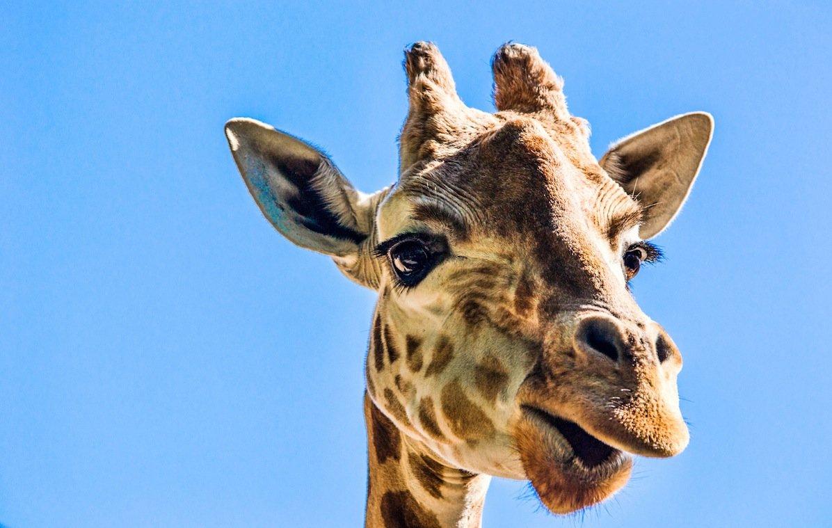 городе картинка жирафа веселая внешний