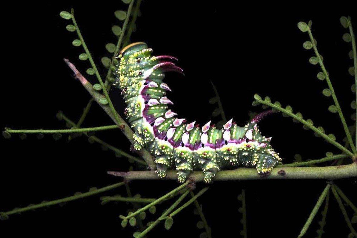картинки редких гусениц