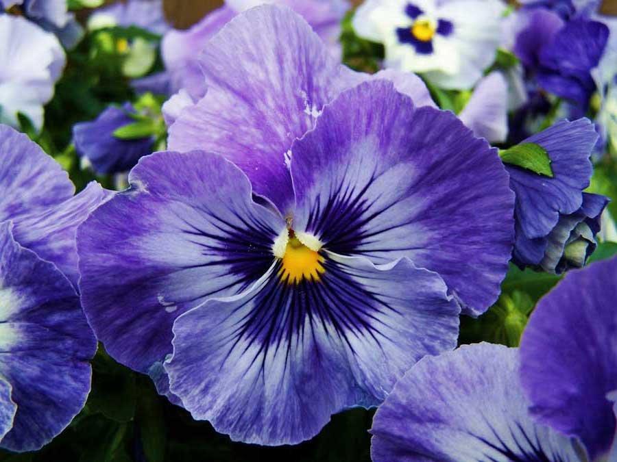 Анютины глазки (Viola tricolor), в устах народа зовётся по разному: Фиалка из пашни, Туфелька Божией матери, Девушкины глазки, Пупочники, Красулечки