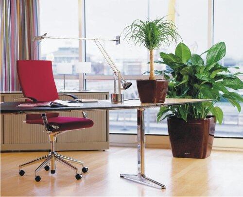 Спатифиллум и нолина в рабочем кабинете