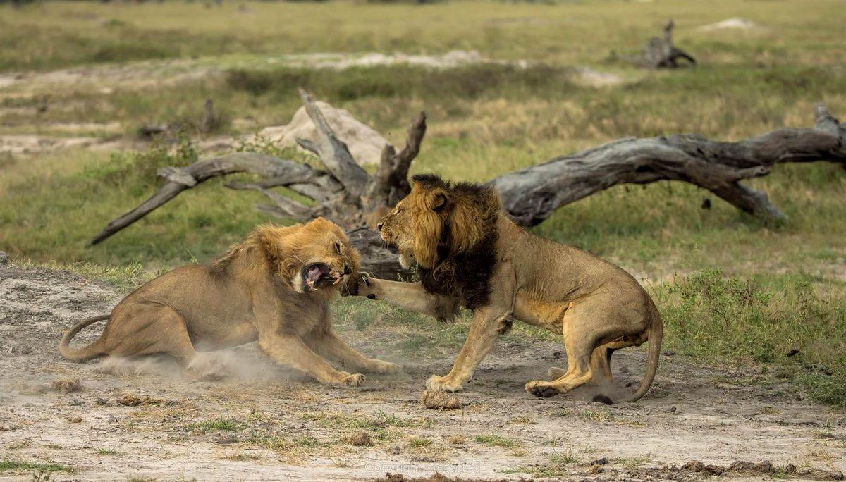 фотообои львы атака картинки сайте очень удобно