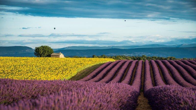 Сочетание желтого и фиолетового поля в Провансе