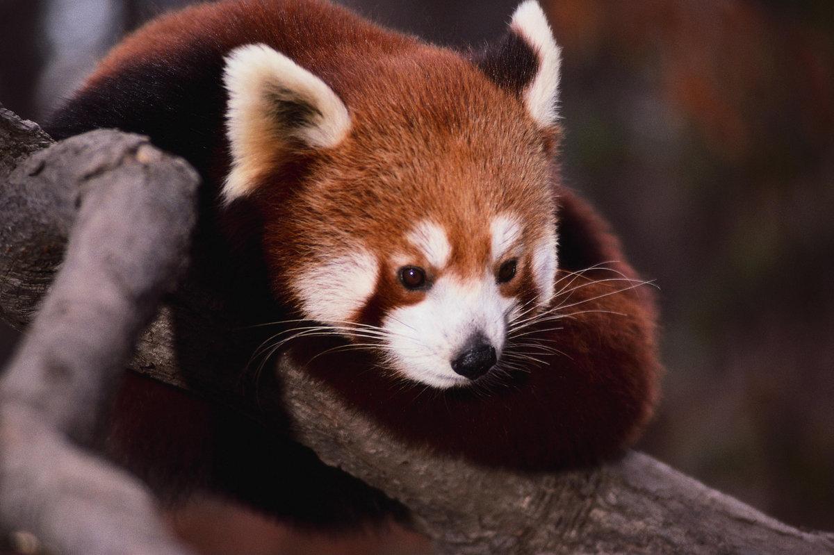 Картинки рыжей панды