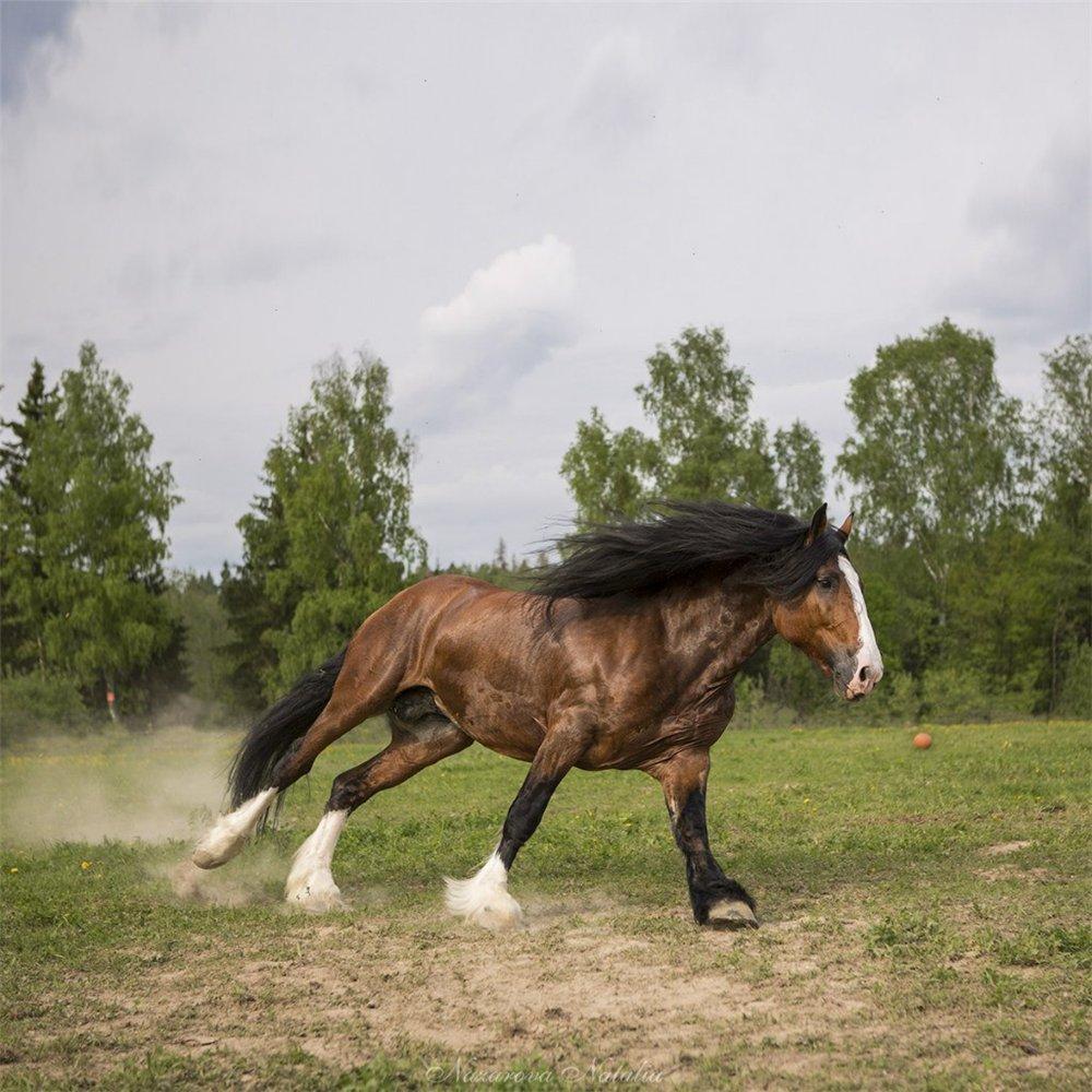 ищете, картинки с тяжеловозами лошадьми этот уголок