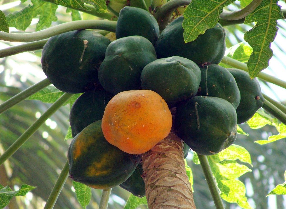 Плод папайи картинка