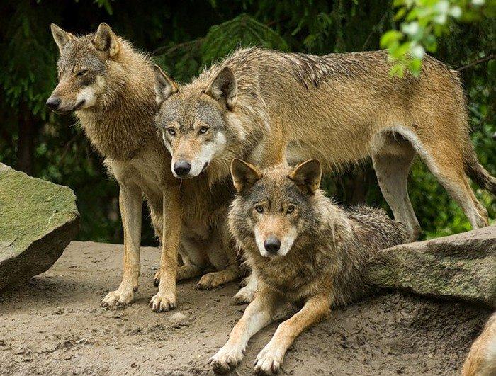 Картинка три волка