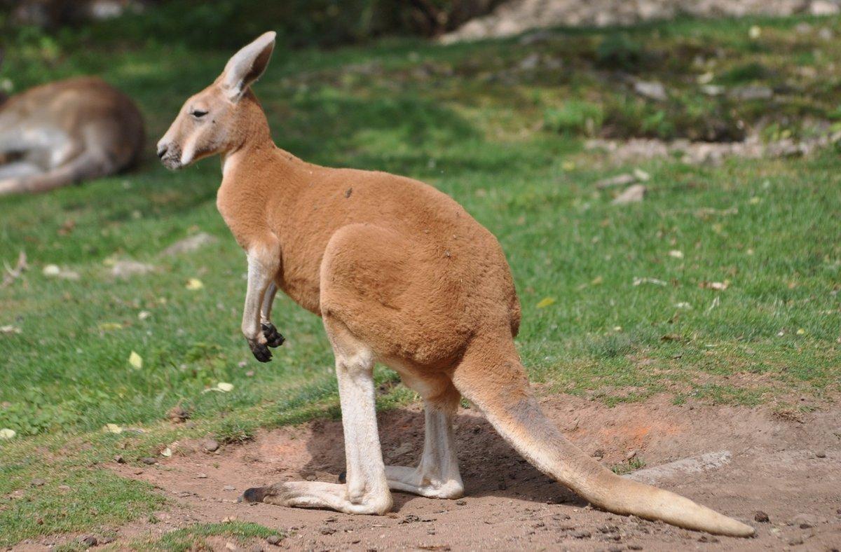 Днем, кенгуру в картинках