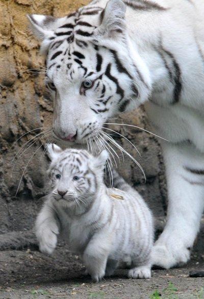 Веками белые тигры считались почти мифическими существами - о Ð½Ð¸Ñ Ð¼Ð½Ð¾Ð³Ð¾ рассказывали, но Ð½Ð¸ÐºÐ°ÐºÐ¸Ñ Ð´Ð¾ÐºÐ°Ð·Ð°Ñ'ельсÑ'в Ð¸Ñ ÑÑƒÑ‰ÐµÑÑ'вования в реальности не наÑодилось.