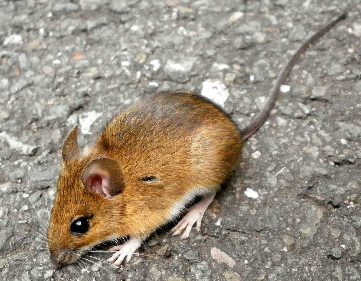 Картинки мышь лесные