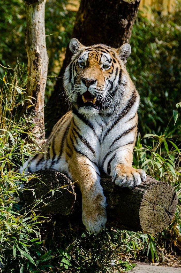 Обитает Амурский тигр в Хабаровском и Приморском краяÑ, так же несколько особей живут в Китае, так как ареал Ð¸Ñ Ð¾Ð±Ð¸Ñ'ания сосредоточен непосредственно на границе