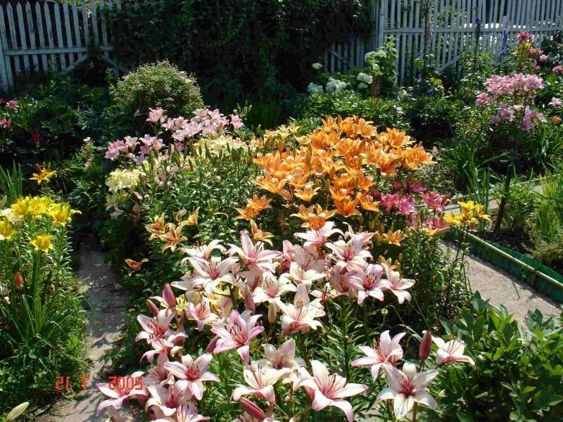 Лилии в саду дизайн фото