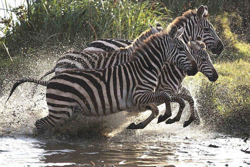 картинка зебра бежит черном