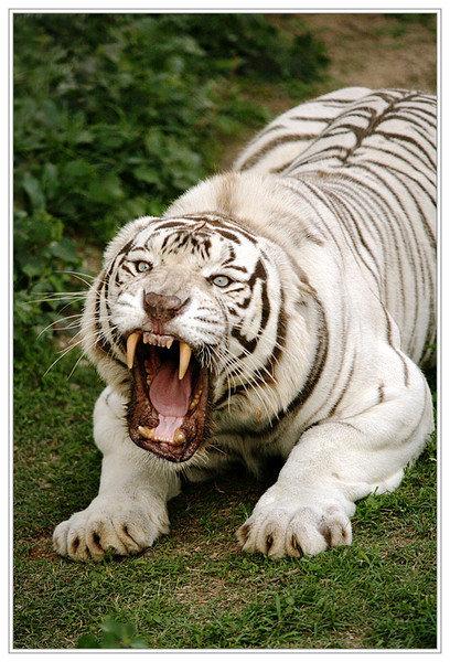 Уссурийский амурский тигр животное красной книги