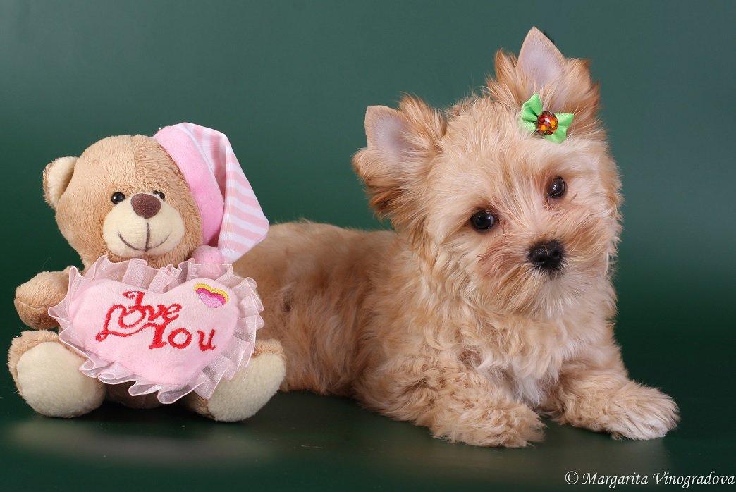 Собаки декоративные картинки