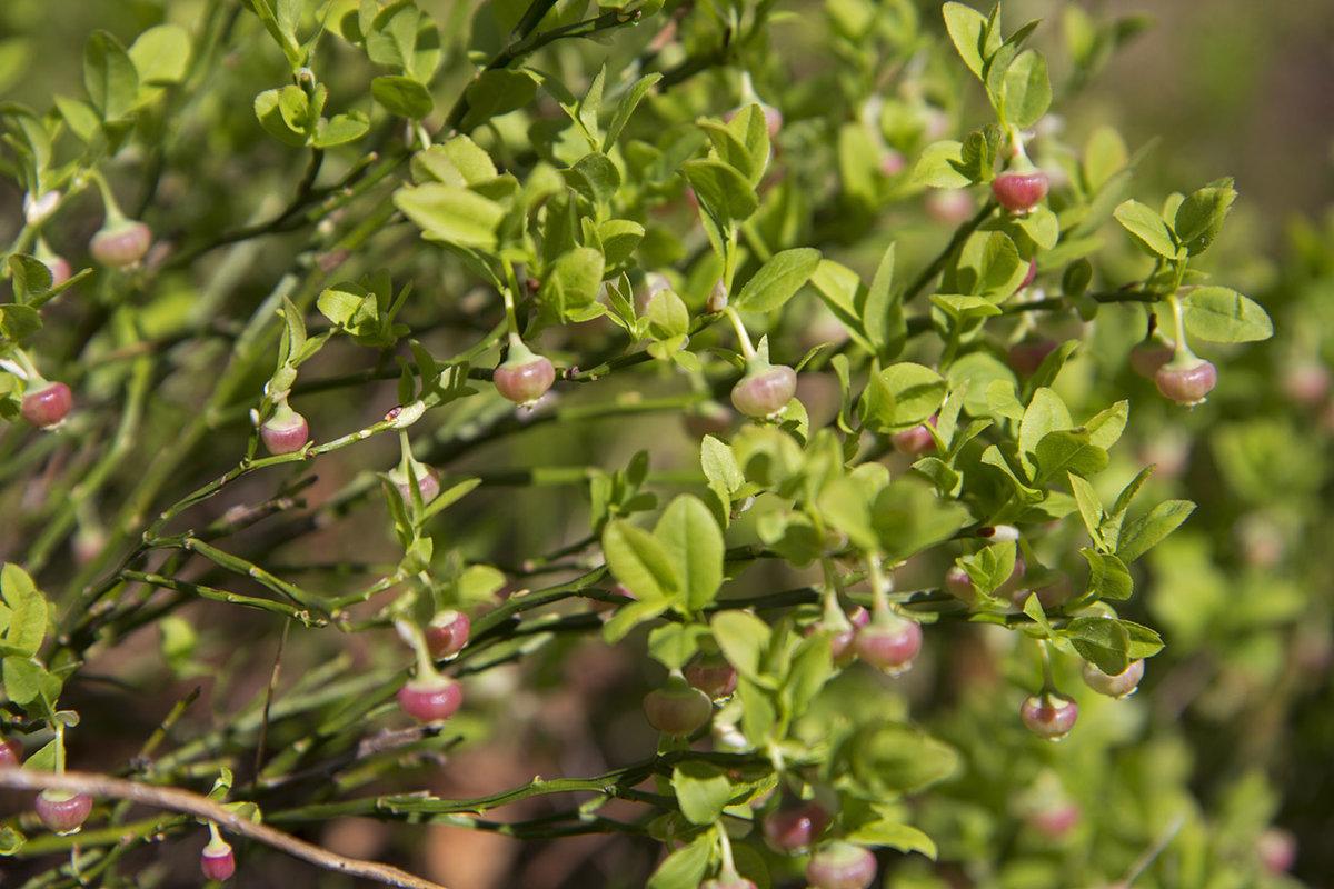 Растение кирказон фото описание прошли